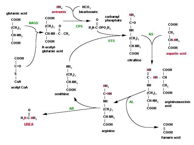 Acetylglutamate synthetase image galleries imagekb com