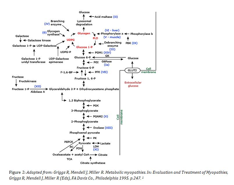 This Gene Encodes For The Alpha Subunit Of Liver Isozyme Phosphorylase Kinase B3